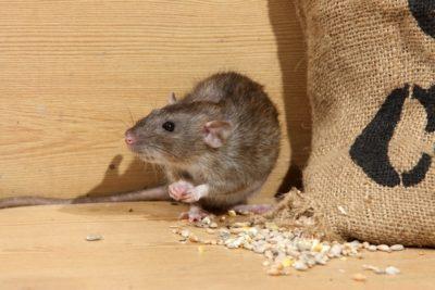 jak zlikvidovat potkany