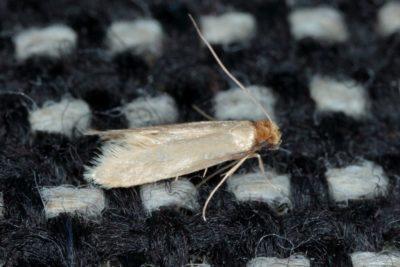 hmyz v bytě - mol
