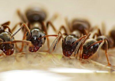 brouci v domácnosti - mravenci
