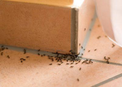 deratizace mravenců praha