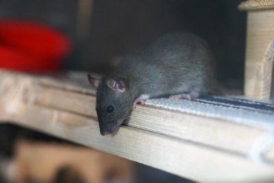 Hubení hlodavců - krysa obecná