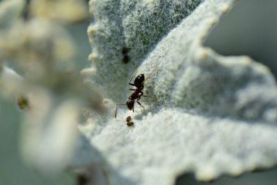 jak vyhubit mravence