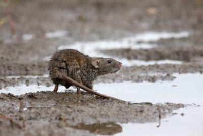 Hubení hlodavců - potkan obecn