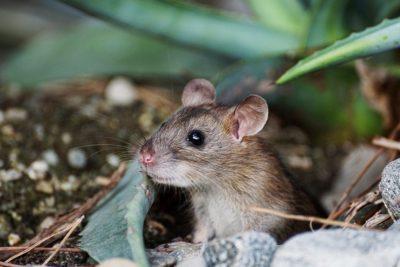 Hubení hlodavců - myš domácí