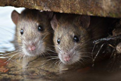 jak vyhubit potkany