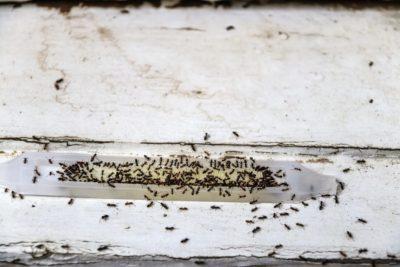 Mravenci likvidace