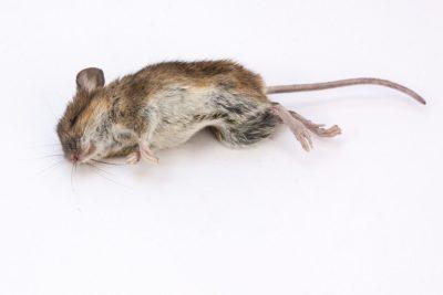 hubení myší praha