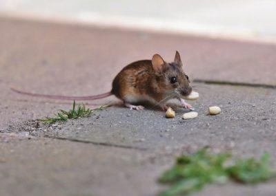 Likvidace myší