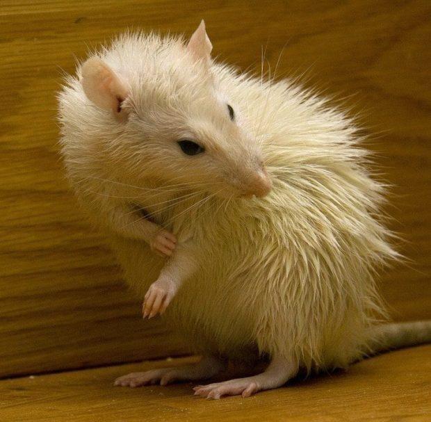 01: Rat